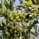 A festa di l'oliu novu – La fête de l'huile d'olive