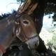 Guissani à dos d'âne : randonnées conviviales en âne en Corse