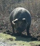 cochon corsica