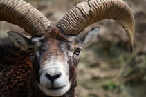 Mouflon corsica