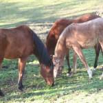 cheval_corse